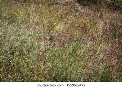 Redish flowers of grass yellow bluestem, latin name Bothriochloa or Andropogon ischaemum in National PArk Fruska Gora, in Vojvodina, Serbia