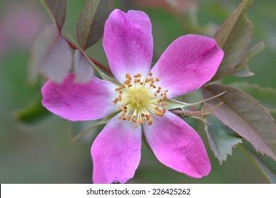 Red-leaf rose