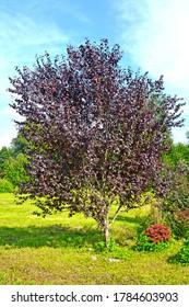 Red-leaved plum, Pissardi variety (Prunus cerasifera var. pissardii). General view of the tree