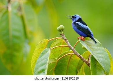 Red-legged Honeycreeper, Cyanerpes cyaneus, exotic tropical blue bird with red legs from Costa Rica. Tinny songbird in the nature habitat. Tanager in South America.