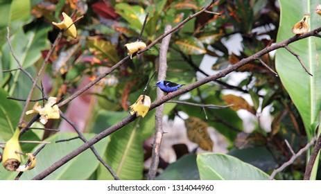 Red-legged Honeycreeper lured to a branch with cut up bananas to feed upon