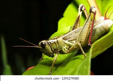 Red-legged Locust, Melonoplus femur-rebrum, on Zinnia