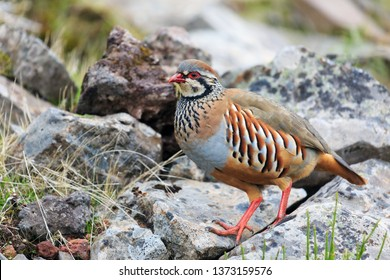 The red-legged partridge (Alectoris rufa), aka French partridge, a gamebird in the pheasant family in the mountains of Madeira