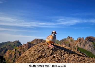 Red-legged partridge, Alectoris rufa. Close up , wild bird in pheasant family on the rock against steep mountains and blue sky of Madeira island. Pico do Ariero mountain range wildlife.