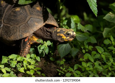 Red-legged tortoise in tropical undergrowth