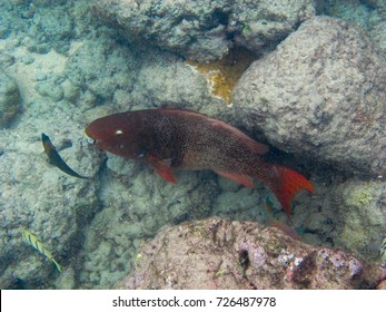 A Redlip Parrotfish, Convict Tang, and Saddle Wrasse on a coral reef.