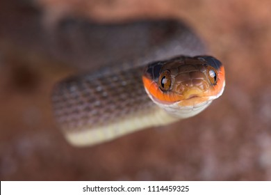 The Red-lipped Snake (Crotaphopeltis hotamboeia) is a nocturnal, mildly venomous, snake species with a food preference for toads. They are found in Southern Africa.