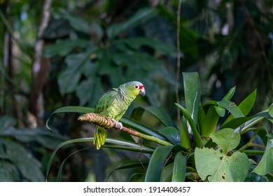 Red-lored Parrot, Amazona autumnalis, portrait of light green parrot with red head, Costa Rica. Detail close-up portrait of bird. Bird and pink flower. Wildlife scene from tropical nature