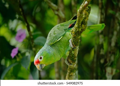 Red-lored Parrot, Amazona autumnalis, portrait of light green parrot with red head, Costa Rica. Detail close-up portrait of bird. Bird and pink flower. Wildlife scene from tropical nature.