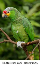 Red-lored parrot from Belize, Central America