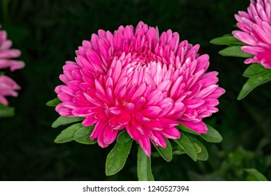 Red-macanthony blossoming flower Astra. Astra on a flower bed on a dark background.