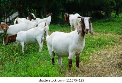 Red-neck goats standing is the head of the masses are eating grass