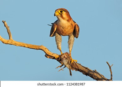 A red-necked falcon (Falco chiquera) with bird prey, South Africa
