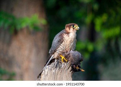 The red-necked falcon or red headed merlin  is a bird of prey in the falcon family with two disjunct populations, one in India and the other in Africa