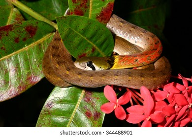 Red-necked keelback snake on the bush