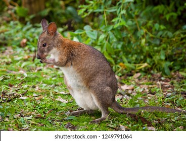 Red-necked Pademelons in the Lamington National Park in Queensland, Australia. They are smaller than Kangaroos and Wallabies but have the same body shape.