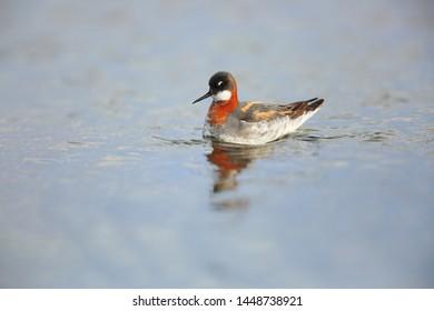 red-necked phalarope on lake in Varanger