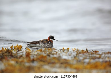 Red-necked phalarope on sea