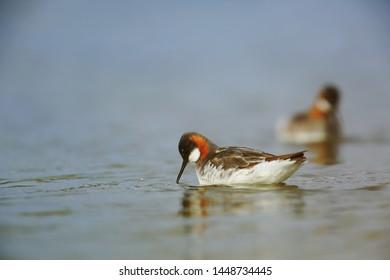 red-necked phalarope pair on lake