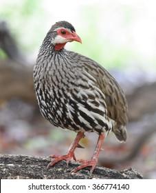 Red-necked Spurfowl, Pternistis afer