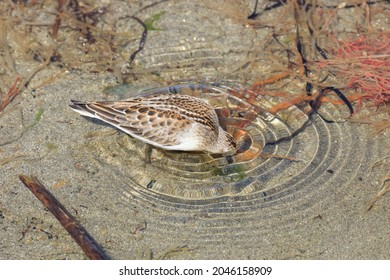 Red-necked stint is bathing in a place where fresh water is springing up on a sandy beach