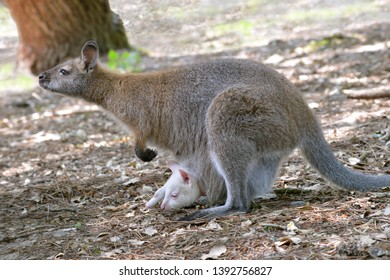 Red-necked wallaby or wallaby of Bennett (Macropus rufogriseus) and its albino joey in the pocket seen from profile