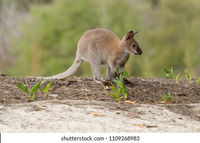 The red-necked wallaby or Bennett's wallaby (Macropus rufogriseus) is a medium-sized macropod marsupial (wallaby), common in the more temperate