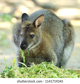 Red-necked wallaby or Bennett's wallaby (Macropus rufogriseus) eating grass