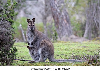 Red-necked Wallaby or Bennett's Wallaby (Macropus rufogriseus) with a young