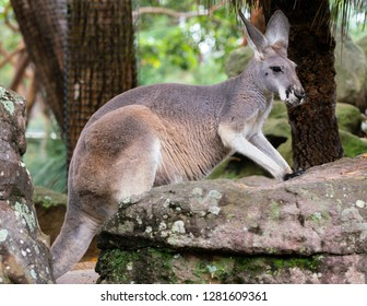 Red-necked wallaby or Bennett's wallaby Macropus rufogriseus in NSW Australia