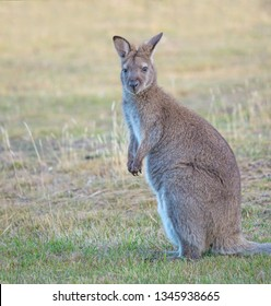 The red-necked wallaby or Bennetts wallaby (Macropus rufogriseus) is a medium-sized macropod marsupial, common in the more temperate and fertile parts of eastern Australia, including Tasmania.