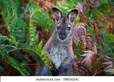 A red-necked wallaby, or Bennett's wallaby (Macropus rufogriseus) among bracken ferns in Narawntapu National Park, Tasmania.