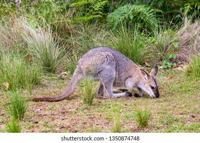 Red-necked Wallaby Foraging at Bunya Mountains National Park