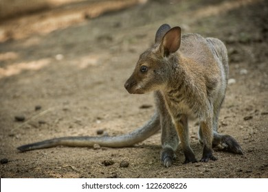 Red-necked Wallaby, Kangaroo