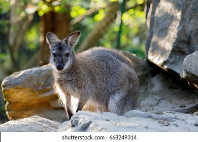 Red-necked Wallaby kangaroo baby on rock (Macropus rufogriseus)