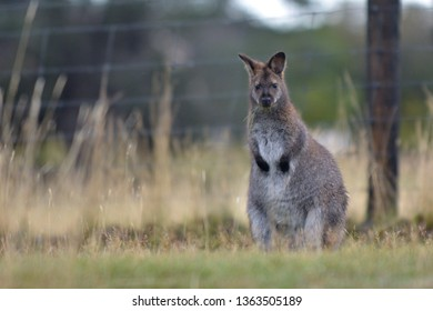 A Red-necked wallaby looking at camera in Tasmania, Australia