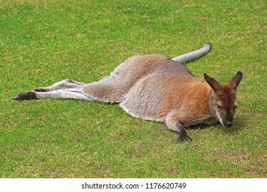 red-necked wallaby lying on grass