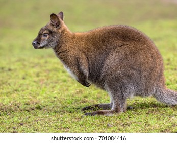 Red-necked Wallaby (Macropus rufogrisens).  Bennet wallabies are mainly solitary but will gather together when there is an abundance of resources such as food, water or shelter.