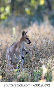 Red-necked wallaby (Macropus rufogriseus) amongst flowers.
