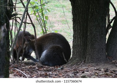 Red-necked wallaby (Macropus rufogriseus) also know as Bennett's wallaby