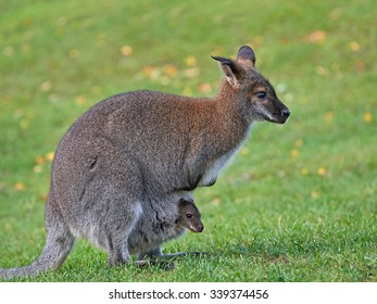 Red-necked Wallaby (Macropus rufogriseus)y with a joey in its pouch