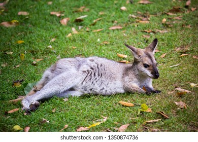 Red-necked Wallaby Relaxing at Bunya Mountains National Park