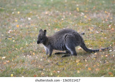 A Red-necked wallaby in Tasmania, Australia