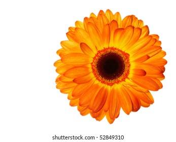 Red-orange-yellow gerbera daisy isolated on white