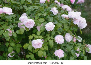 Redoute rose closeup