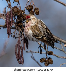 Redpoll (Carduelis flammea) perching on the alder twig searching for seed in the cones with a gray defocused background