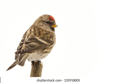 Redpoll (Carduelis flammea) sitting on a twig isolated on white