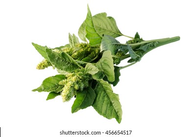 Redroot pigweed (Amaranthus retroflexus) also called red-root amaranth, common amaranth, pigweed amaranth, common tumbleweed isolated on white background. Used in herbal medicine, healthy eating