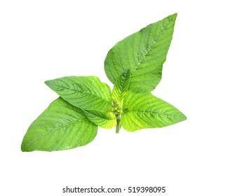 Redroot pigweed (Amaranthus retroflexus) also called red-root amaranth, common amaranth, pigweed amaranth, common tumbleweed isolated on white background.