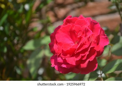 Redrose with perfect bloom in the garden